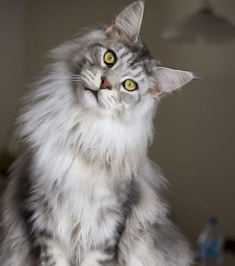 Maine Coon Katze 15 Fakten Und Bilder Zur Beliebten Katzenrasse
