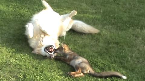Hund und Fuchswelpe: ganz offensichtlich dicke Freunde vom ersten Treffen an.