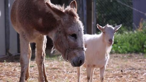 Dieser Esel und dieser Ziegenbock waren getrennt. Ihr Wiedersehen ist rührend.