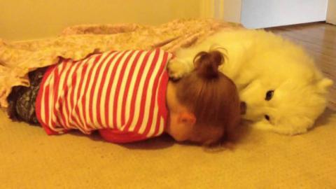 Ein Samoyede kümmert sich um ein Kind.