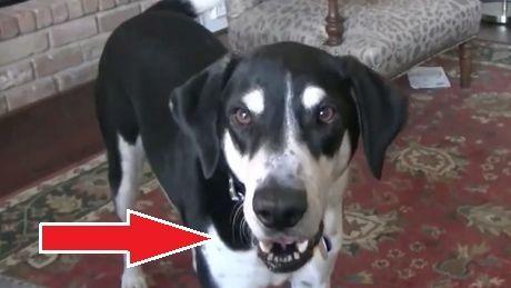 Dieser Mann schafft es, seinen Hund zum Sprechen zu bringen. Das Ergebnis ist wirklich komisch.