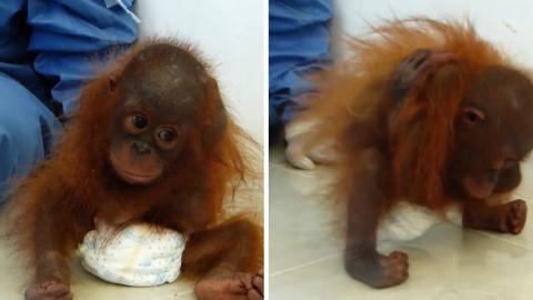Dieses Orang-Utan-Baby ist ohne Mutter aufgewachsen... und fühlt sich so allein, dass es sich selbst umarmt