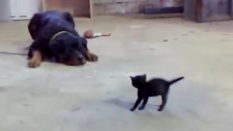 Das Kätzchen spielt: Dann greift ein Rottweiler an