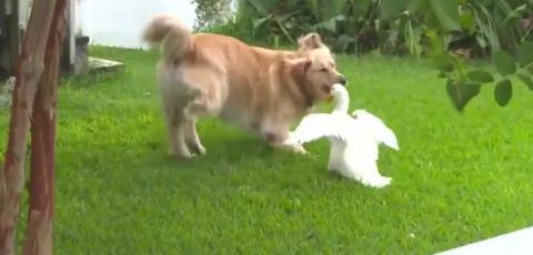 Eine nicht ganz alltägliche Freundschaft zwischen einem Golden Retriever und einer Ente