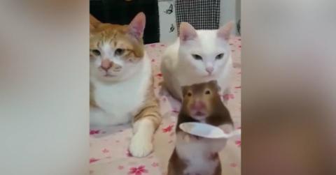 Zwei Katzen und eine Ratte fressen zusammen vom Löffel