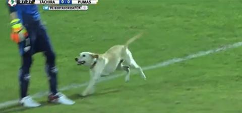 Ein Hund meint, er müsste unbedingt bei einem Fußballspiel mitmachen und mischt sich unter die Spieler