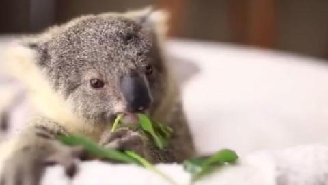 Herzallerliebst: Hast Du schon einmal einem Koala-Baby beim Fressen zugeschaut?