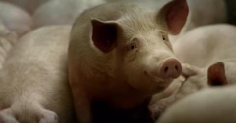 Gummibärchen-Herstellung: Am Anfang war das Schwein