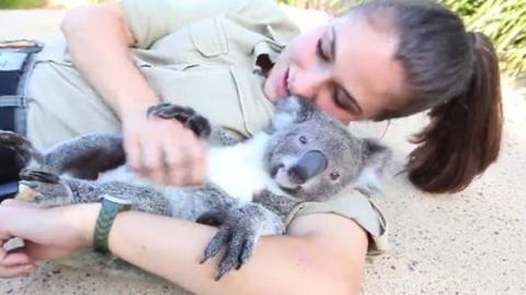 Dieser Koala schmust gern und holt sich seine Streicheleinheiten
