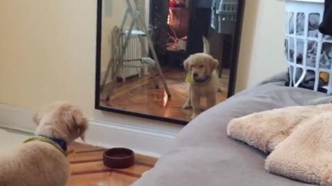 Dieser herzallerliebste Welpe hält sein Spiegelbild für einen anderen Hund