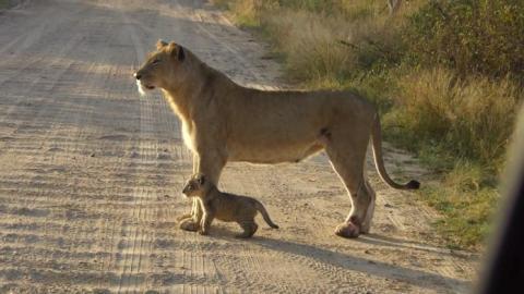Diese Löwin zeigt ihrem Jungen, wie man die Straße überquert