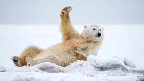 Dieser Eisbär liebt den Schnee und hat die Absicht, davon zu profitieren.