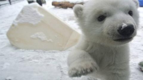 Dieser kleine Eisbär macht seine ersten Schritte im Schnee