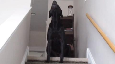 Dieser Labrador Retriever reagiert auf jeden Ton seines Herrchens. Ein urkomisches Zwigespräch!