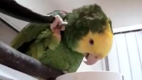 Dieser Papagei hat den Dreh raus, um sich an unerreichbaren Stellen hinterm Kopf zu kratzen!