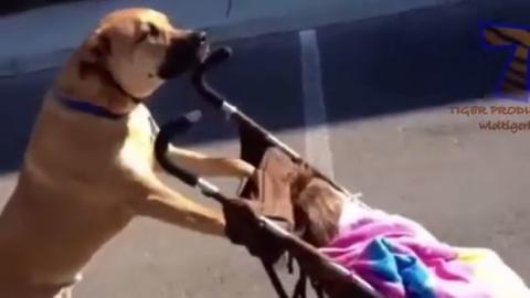 Diese Hunde gehen mit Babys und Kleinkindern Gassi... einfach süß!