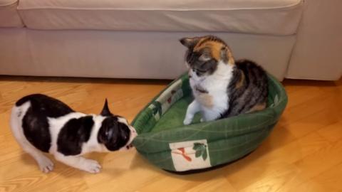 Dieser tapfere Hund versucht sein Kissen zurückzuerobern... Doch die Katze bleibt unbeirrt!