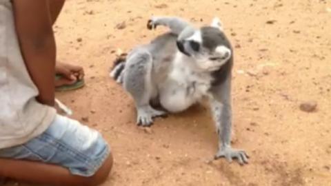 Das Video mit dem Lemur, der um Streicheleinheiten bettelt, macht die Runde im Netz