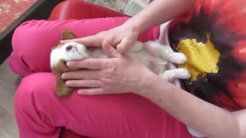 Dieser kleine Hund lässt sich genüsslich massieren... Wer wäre da nicht gern an seiner Stelle?