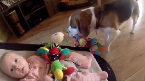 Dieser Hund stibitzt das Spielzeug der kleinen Laura... Doch als sie zu weinen beginnt, reagiert er herzallerliebst