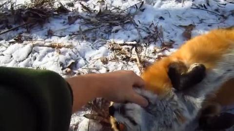 Als er sich einem Fuchs näherte, hatte er eine solche Reaktion nicht erwartet.