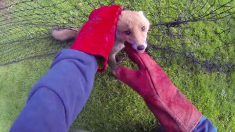 Dieser kleine Fuchs hat sich in einem Netz verfangen. Aber ein Mann mit einem großen Herzen hat ihm das Leben gerettet.