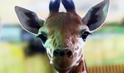 Höchste Alarmstufe: Eine Giraffen-Spezies stirbt unbemerkt aus