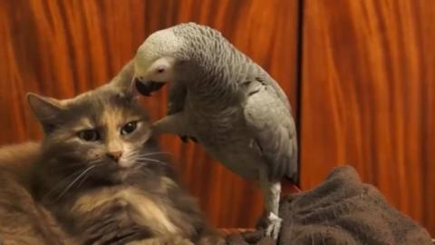Neckischer Graupapagei will mit der Katze schmusen