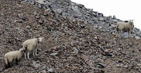 Das traurige Schicksal der Schafe von der Halde