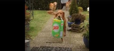 Gut erzogen: Diese Hunde helfen, die Einkäufe ins Haus zu tragen