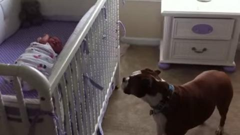 Hund denkt, er wäre ein Babysitter. Und er macht diesen Job verdammt gut!