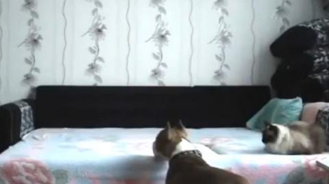 Dieser Hund darf nicht auf das Bett. Schauen Sie was er macht, wenn sein Herrchen nicht da ist.