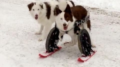Dieser behinderte Hund geht im Schnee spielen. Er liebt Skifahren!