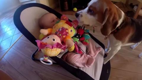 Dieser Hund klaut dem Baby sein Spielzeug und bereut es direkt im Anschluss. Raten Sie mal, wie er sich entschludigt.