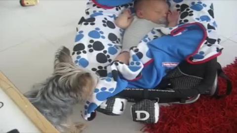 Dieser Hund liebt das Neugeborenen der Familie. Er stellt sicher, dass es ihm an nichts fehlt.