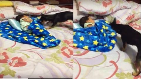 Ein Hund deckt ein Baby wie ein wahrer Babysitter zu