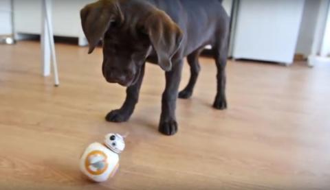 Lustige Reaktion eines Hundes auf den Star Wars Droiden BB-8