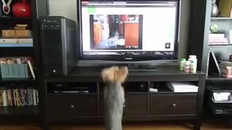 Als er das Video eines Hundes sieht, hat dieser kleine Hund eine merkwürdige Reaktion.