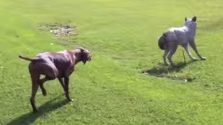 Dieser Hund hat beschlossen, einen Wolf zu jagen. Aber es wartet eine Überraschung auf ihn.