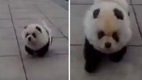 Dieser Hund sieht aus wie ein kleiner Panda. Ein kuscheliges Kerlchen!
