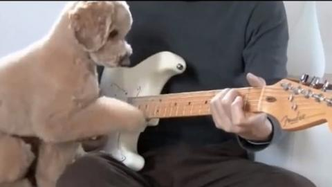 Dieser Hund spielt Gitarre mit seinem Herrchen... einfach gekonnt!