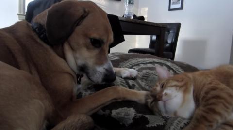 Diese Katze liebt es sich von diesem Hund streicheln zu lassen. Ihr werdet es lieben!