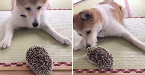 Video - Erst freut er sich über den Igel, doch dann bemerkt er, was für ein stacheliger Freund das doch ist!