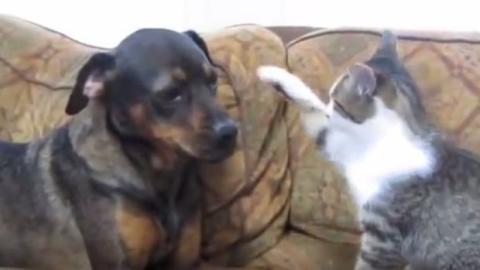 Ein Hund und eine Katze machen sich eine Couch streitig... Wer wohl gewinnt?