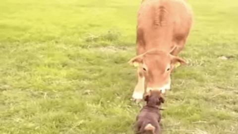 Als dieser Hund und die Kuh sich begegnen, werden sie beste Freunde