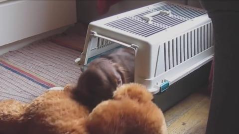 Dieser Hund will unbedingt mit seinem Kuscheltier schlafen...