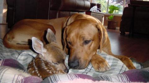 Dieser Hund hat sich rührend um ein kleines Rehkitz gekümmert