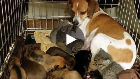 Ein Hund kümmert sich liebevoll um verlassene Kätzchen.
