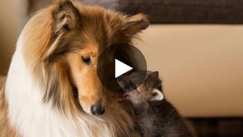 Eine Hündin adoptiert Fuchswelpen.