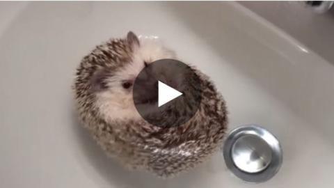 Ein Igelbaby geht baden und wird zu einer Igel-Boje.
